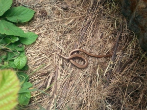 Slow worm on the warm ground - they love the heat of compost heaps