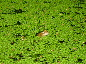 Common fron in a pond