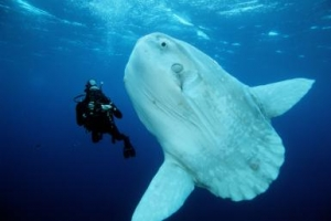 Ocean sunfish (Mola mola) found in open ocean, California, USA, Eastern Pacific Ocean