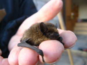 Common Pipestrelle, rescued Alderney. YOU MUST NEVER HANDLE A BAT, ONLY SOMEONE LICENSED AND TRAINED IS ALLOWED TO DO THIS