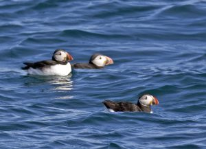 Puffin's Burhou BB 07