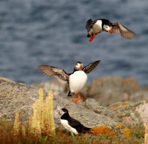 Puffins on Burhou Copyright AWT Ltd (Photographer Bill Black) (5)
