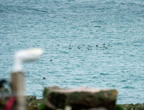 Puffins return for 2020 season