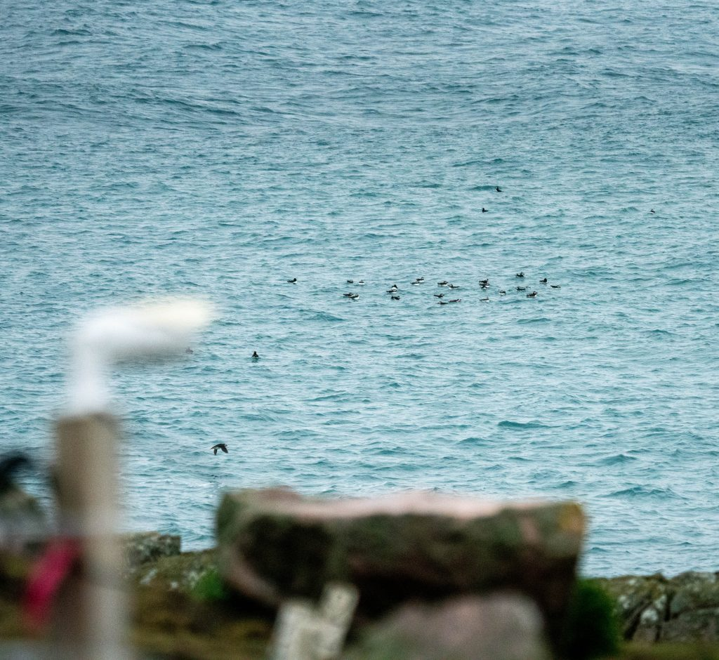 Puffins and puffin cam 2020